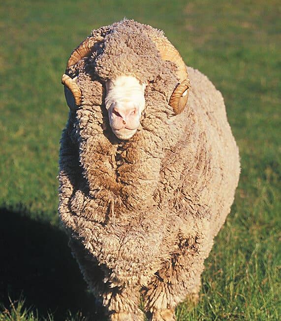New zeland sheep Smartwool